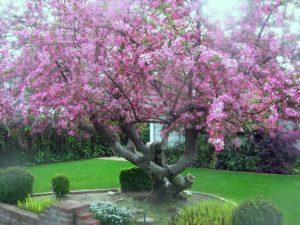 декоративная яблоня в дизайне сада
