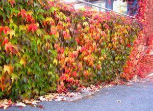 дикий виноград уход осенью