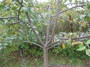 обрезка двухлетних яблонь