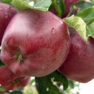 сорта яблонь редчиф
