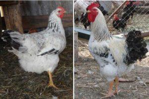 курица и петух мастер грей