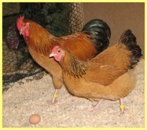 куры кучинские яйценоскость