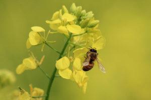 пища для пчел