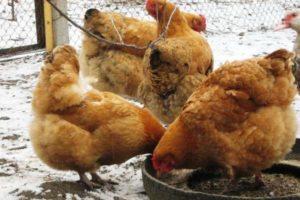 курицы фокси чик кормление