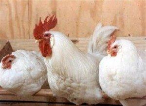 ленинградская белая порода кур