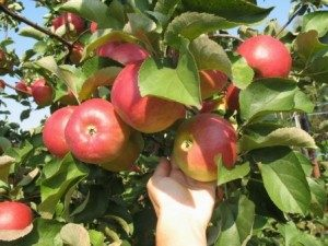 сорта яблонь корей