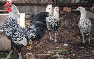 гамбургская порода кур разведение