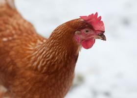 зимнее питание кур