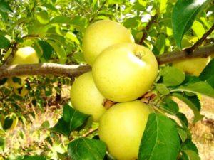 голден яблоня
