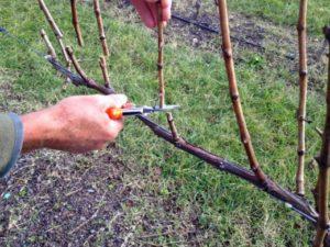 зачем обрезать виноград