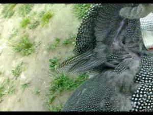 подрезка крыльев у цесарок