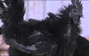 курицы аям цемани и их болезни
