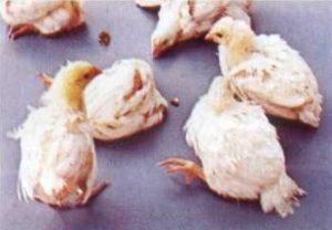гамборо цыплят