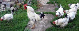 минусы адлерских кур