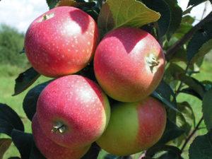 сорта яблонь елена