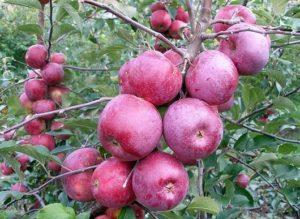 сорта яблонь флорина