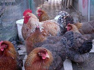 содержание куриц породы билефельдер