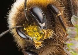 пчелы и их породы