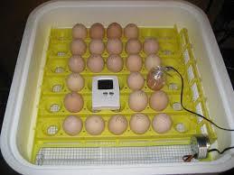 яйца цыплят в инкубаторе