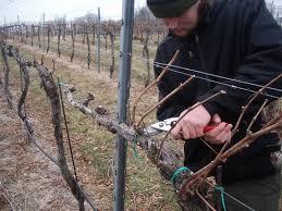 обрезаем виноград