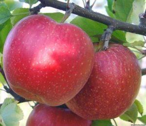 сорта яблонь амулет