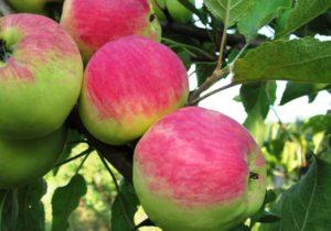сорта яблонь мантет