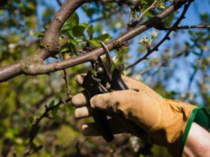 правила обрезки яблони двухлетки