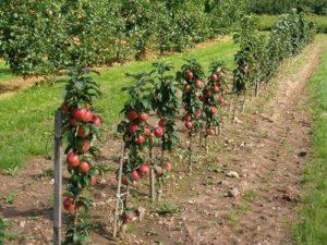 низкорослые яблони