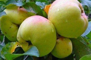 яблони сорта для средней полосы
