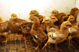 Бронхопневмония у цыпленка