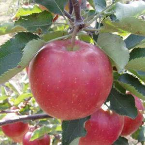 кинг джонаголд яблоня