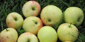 сорта яблонь кипарисовое