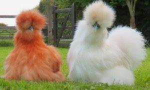 китайские шелковые курицы