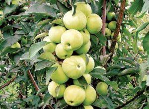 сорта яблонь медок
