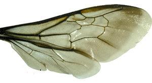 крылья пчелы