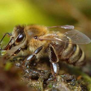 краинская пчела1