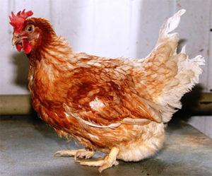красная белохвостая порода кур