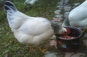кормление адлерских кур