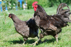 петух и курица породы джерсийский гигант