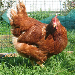 курица породы родонит