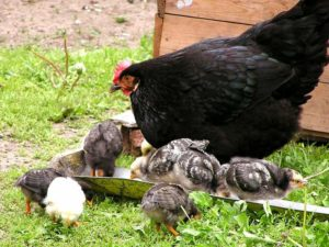 родительское стадо кур