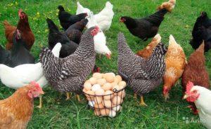куры доминант и яйца