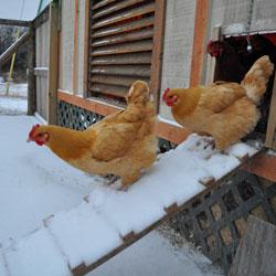 подготовка курятника к зиме