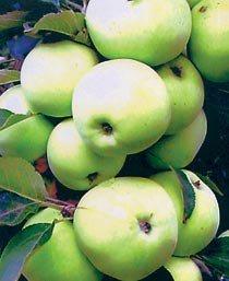 сорт яблони кутузовец