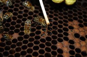 гнилец пчел