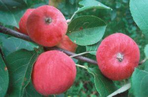 сорта яблонь серебряное копытце