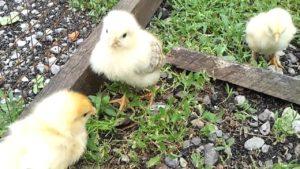 выгул цыплят