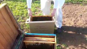 как пересадить пчел из пчелопакета в улей