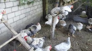 порода куриц мастер грей