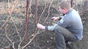 осенняя обрезка винограда